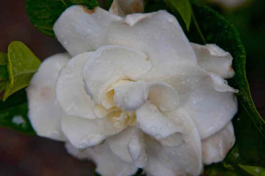 Gardenia wet low res