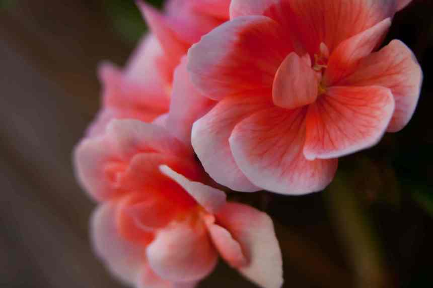 Geraniums pink 2 low res