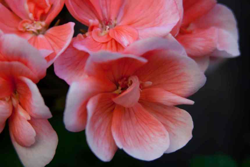 Geraniums pink 3 low res