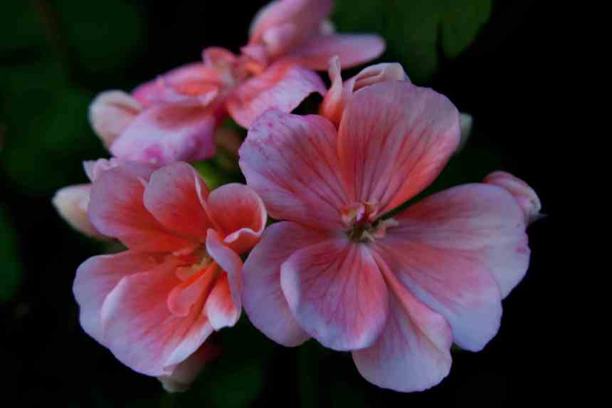 Geraniums pink 4 low res