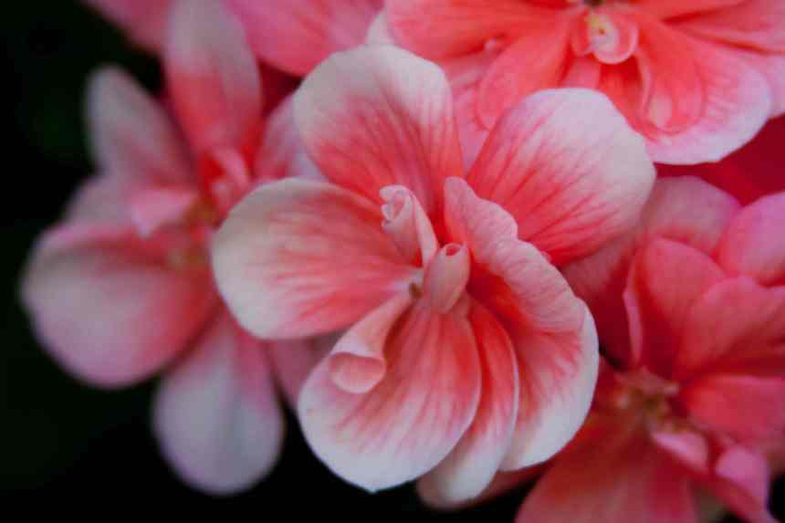 Geraniums pink white 2 low res
