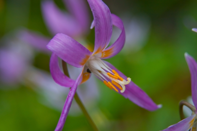 Iris siskiyou 2