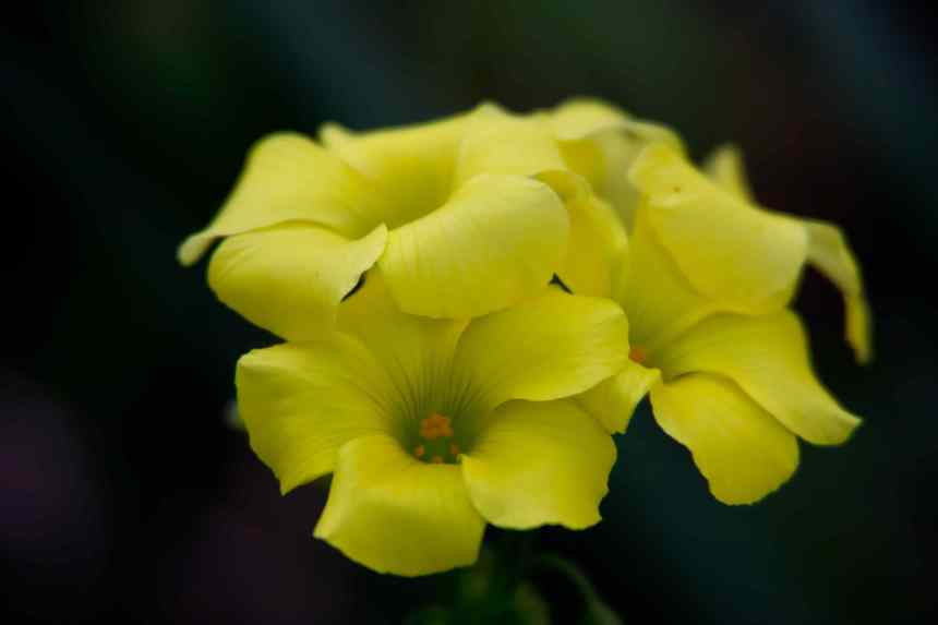 Oxalis low res
