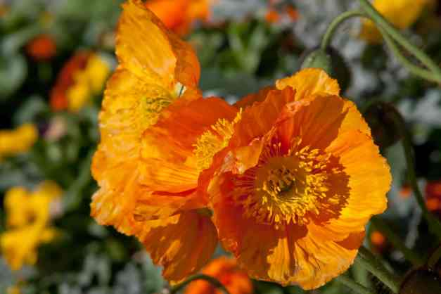 Poppies light orange low res