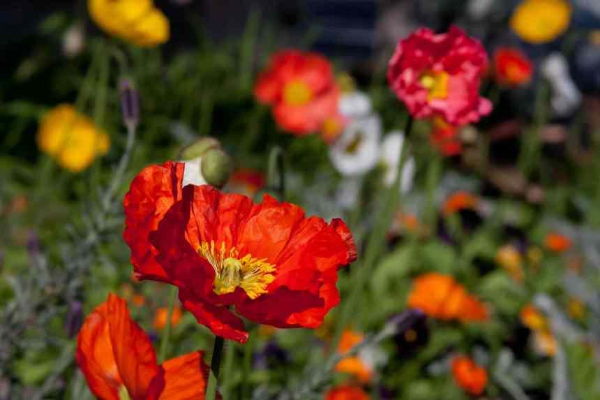 Poppies scene low res