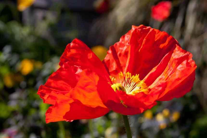 Poppy bright orange low res
