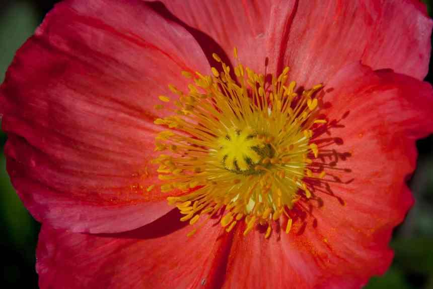 Poppy orange low res