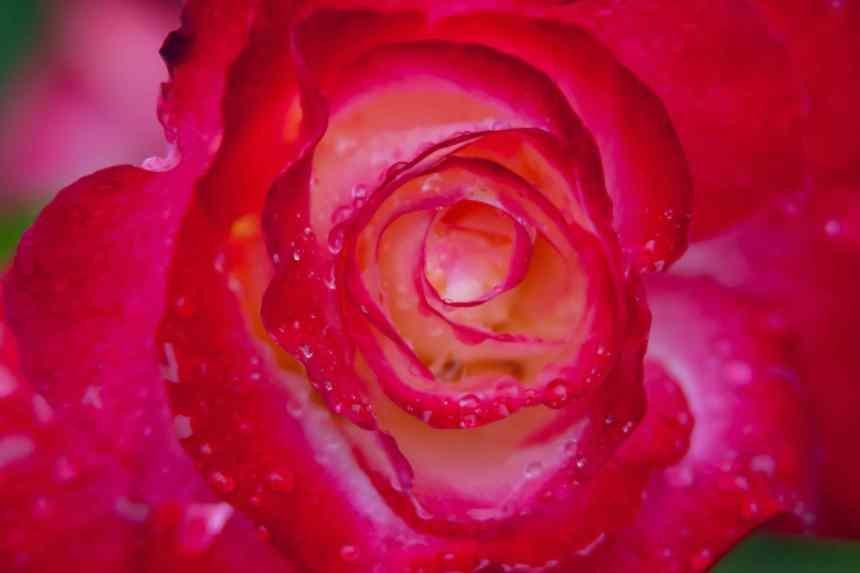 Rose eye wet low res