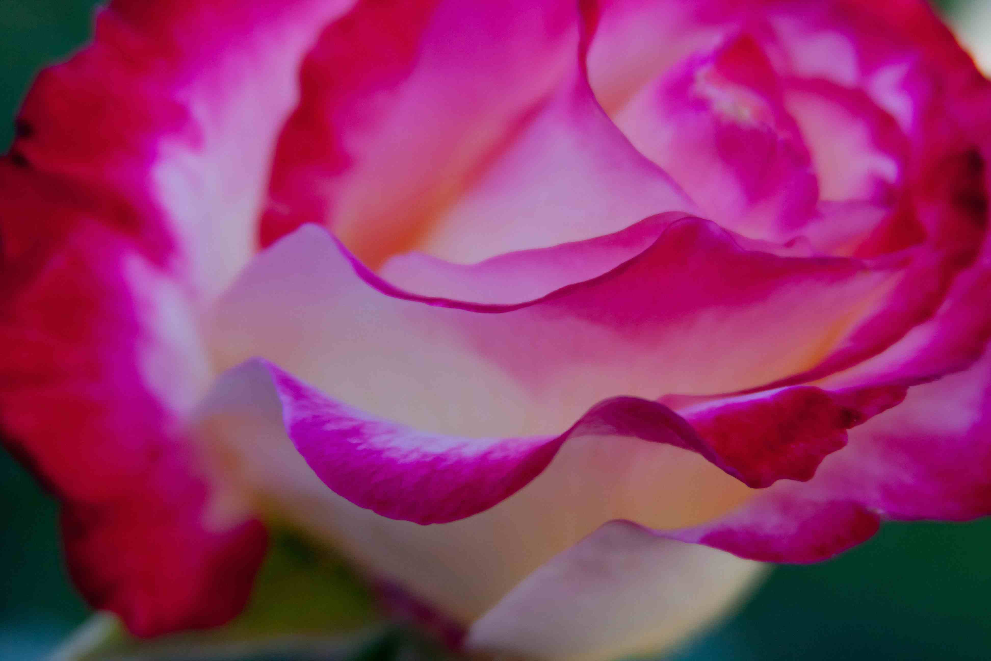 Rose Petal Power | Fables and Flora