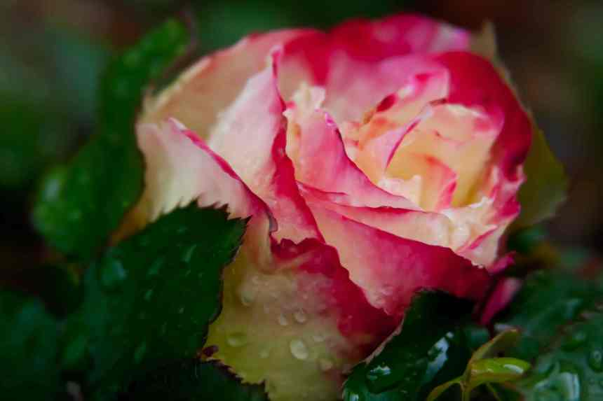 Rose raindrops 3 low res