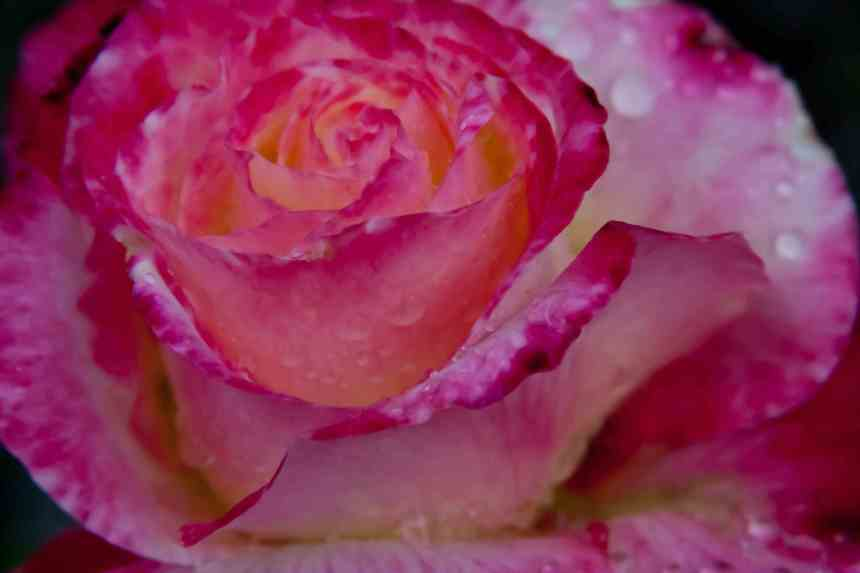 Rose raindrops 6 low res