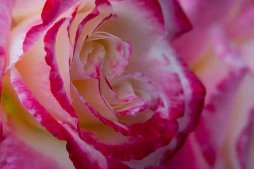Rose raindrops 7 low res