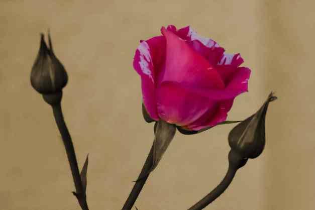 Rose trio 2 sepia low res
