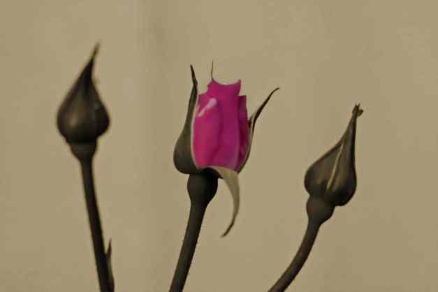 Rose trio sepia low res