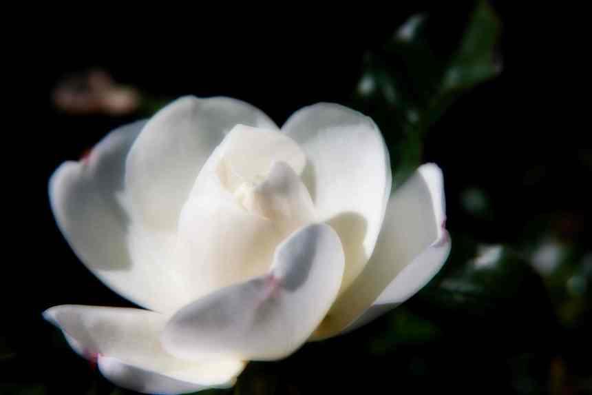 Rose white Orton 3 low res