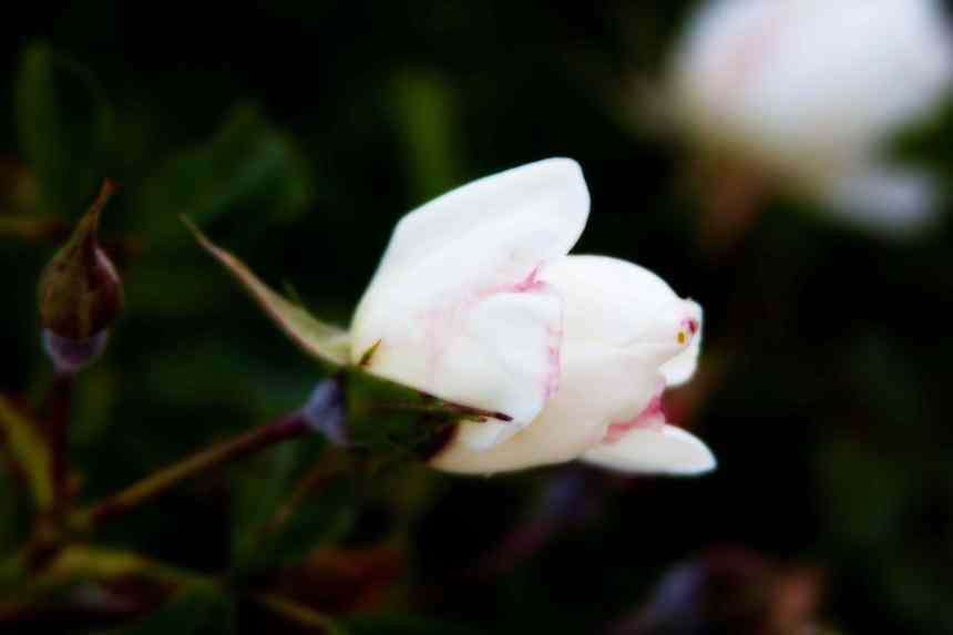 Rose white Orton 5 low res