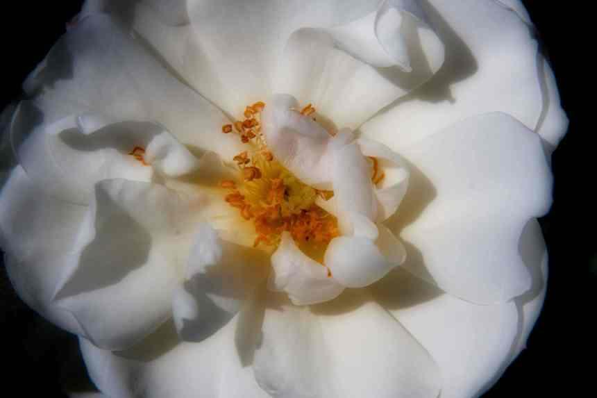 Rose white Orton 6 low res