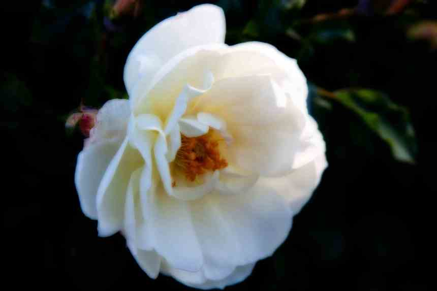 Rose white Orton 8 low res