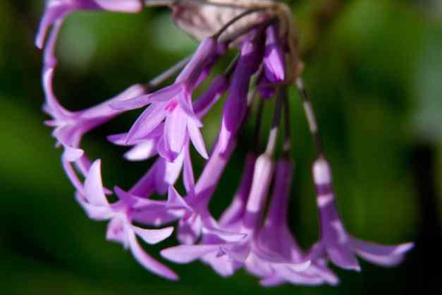 Society garlic garden 3 low res