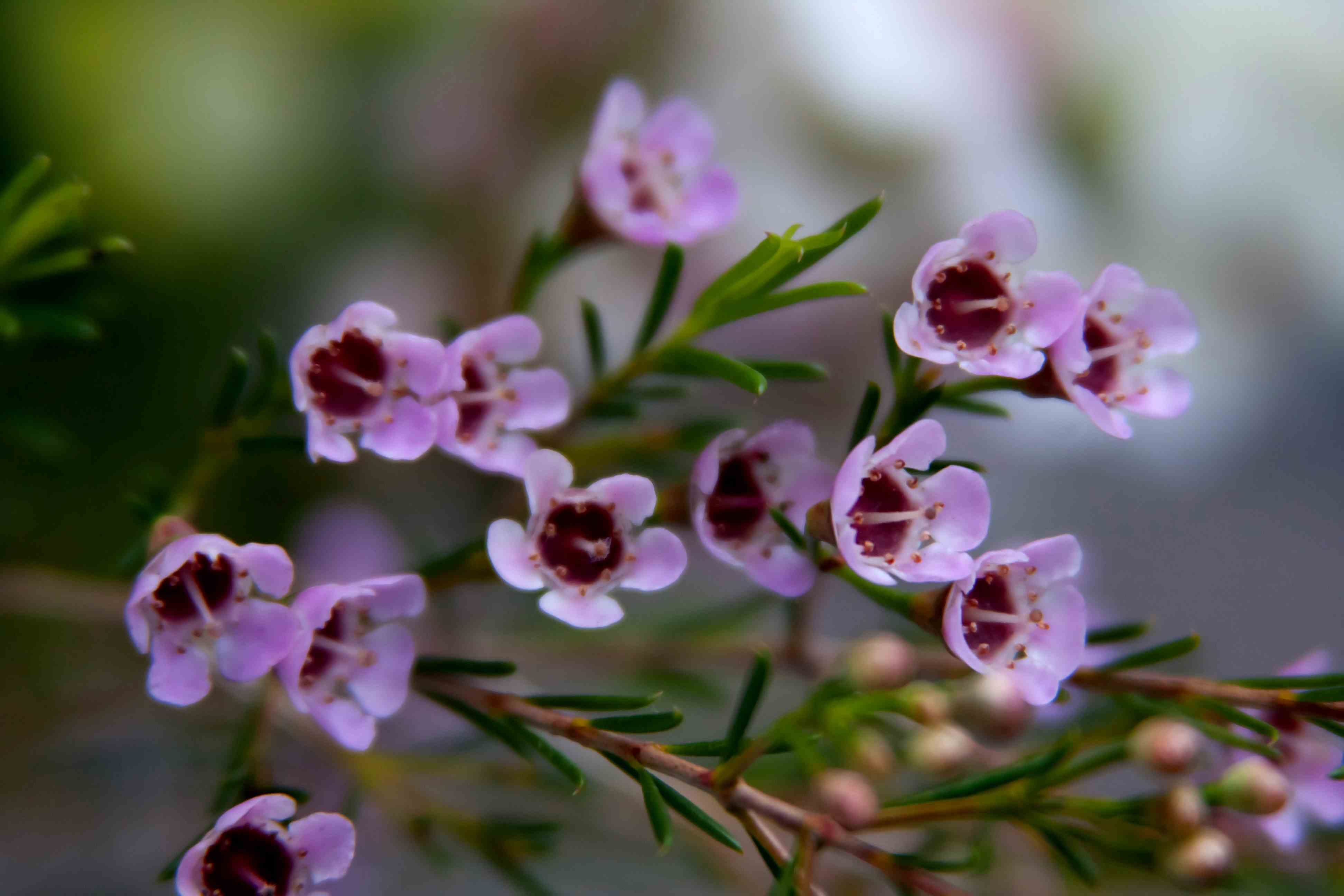 Pale Pink Geraldton Wax Flowers Fables And Flora
