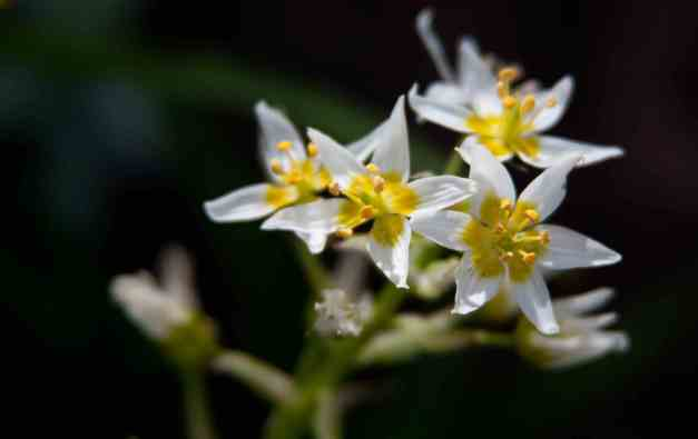 White star flower low res