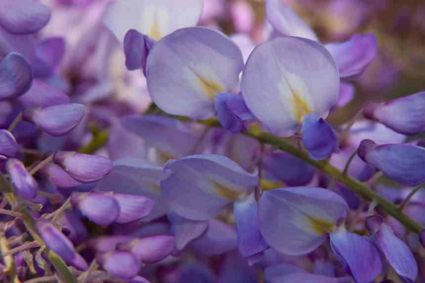 Wisteria buds and blooms 2 low res