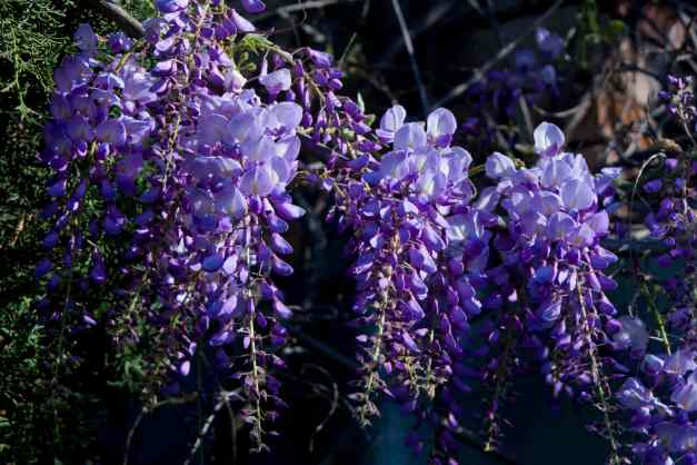 Wisteria hanging low res