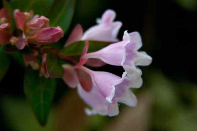 Abelia blooming low res