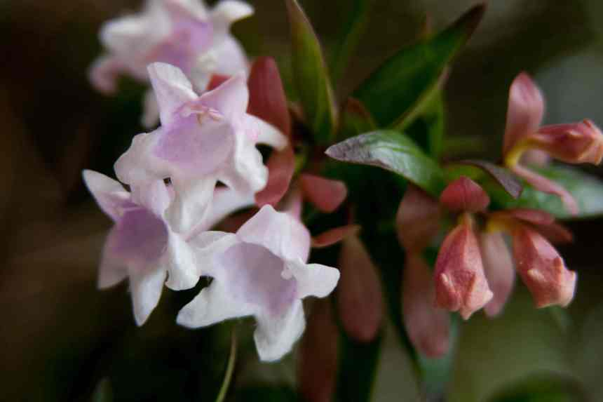 Abelia buds and blooms low res