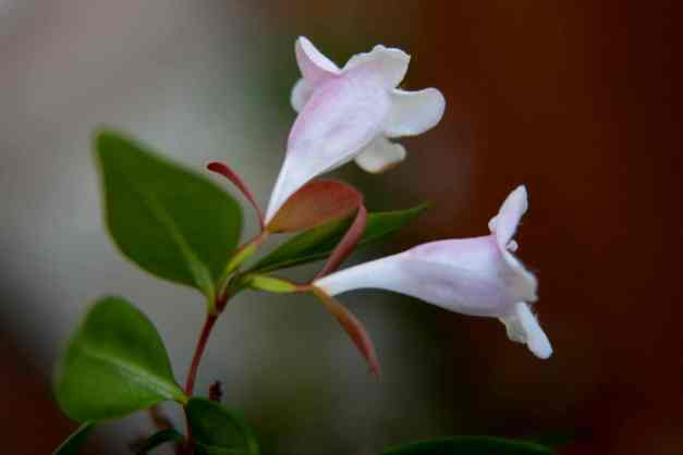 Abelia sprig low res