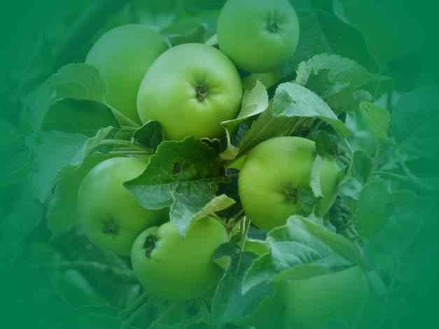 Apples Green V low res