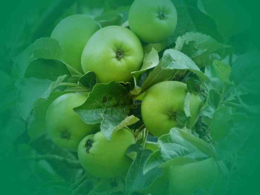 Apples Green V low res