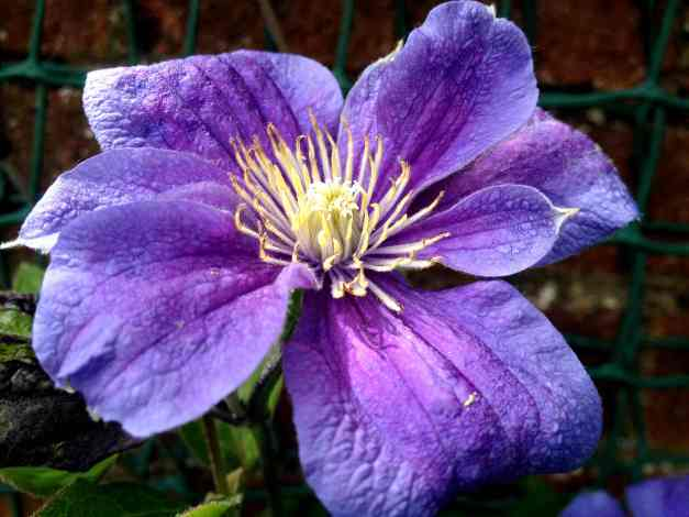 Blue Clematis low res