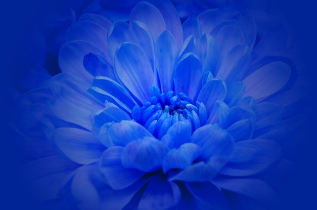 Chrysanthemum blue halo