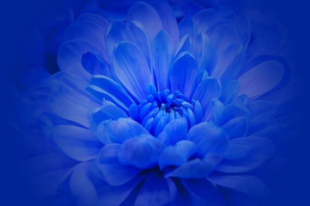 Chrysanthemum blue halo
