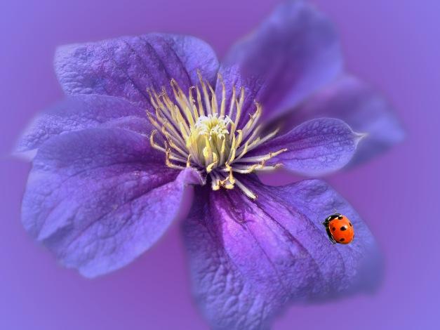 Clematis blue V ladybird
