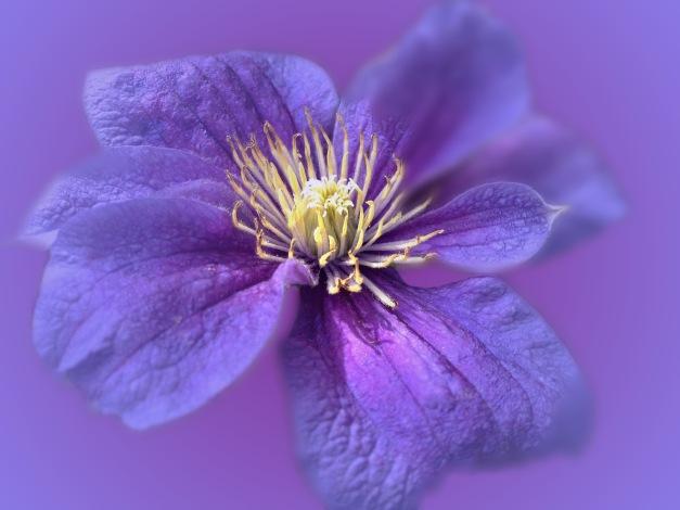 Clematis blue V