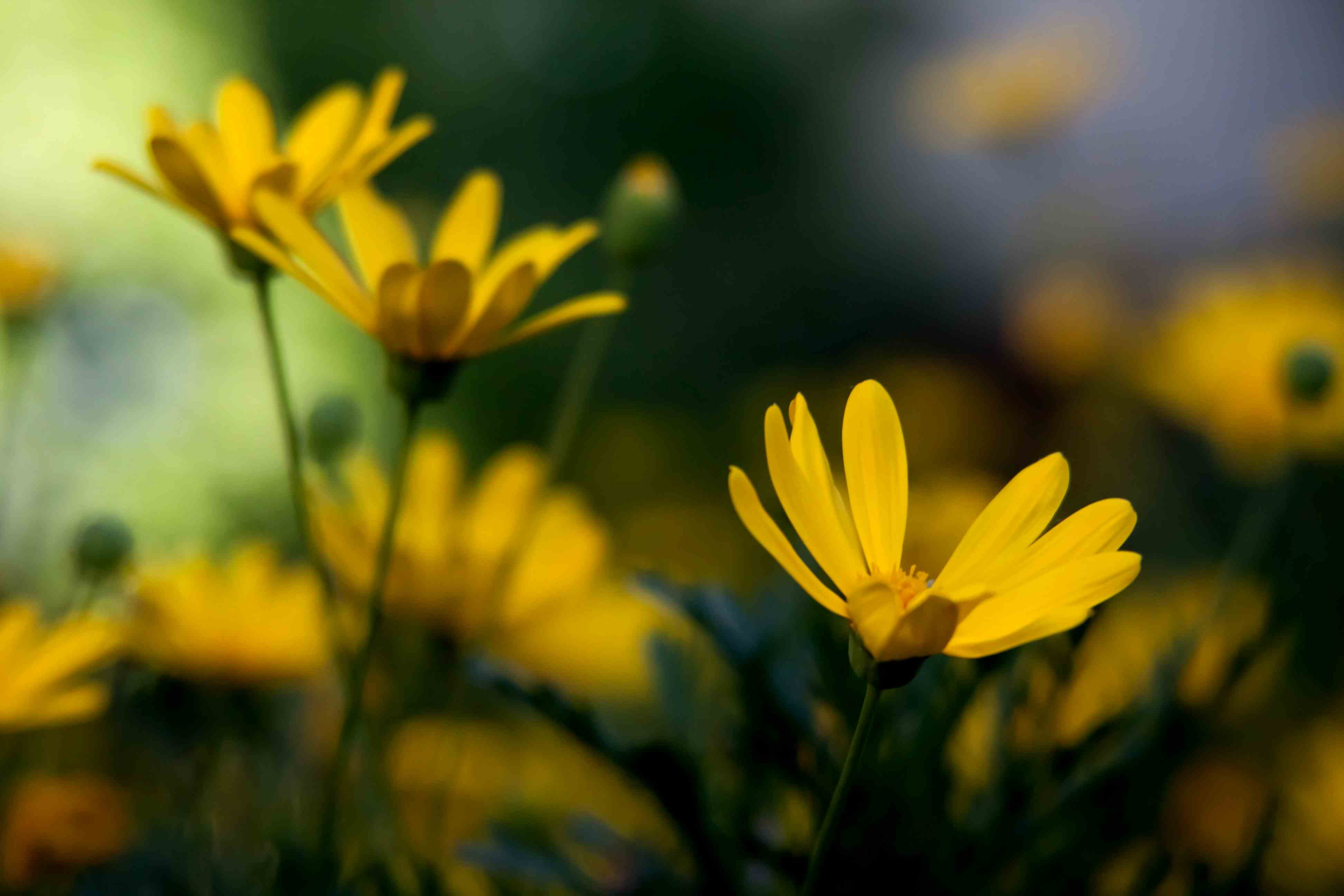 Dazzling Yellow Daisies Fables And Flora