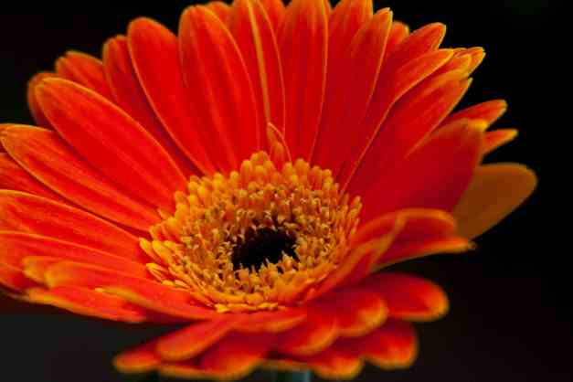Gerbera Orange on B low res