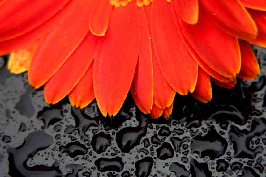 Gerbera Orange on Black low res