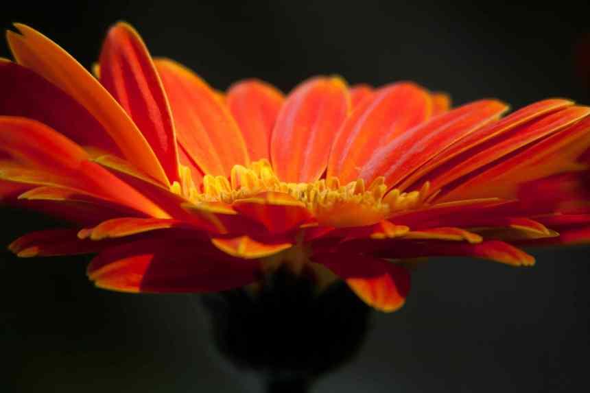 Gerbera Orange spotlight low res