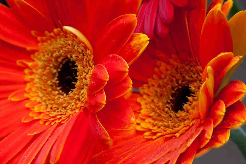 Gerbera Orange two low res