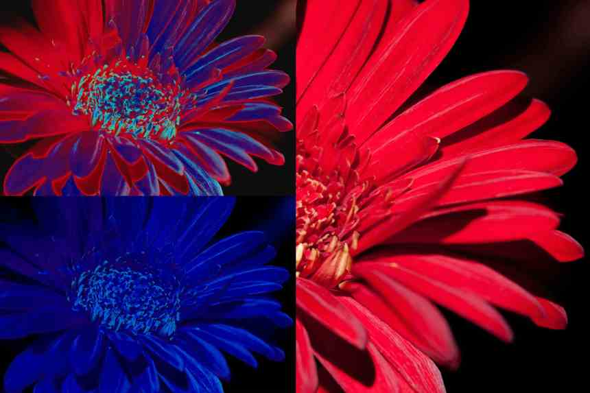 Gerbera pop art 1 low res