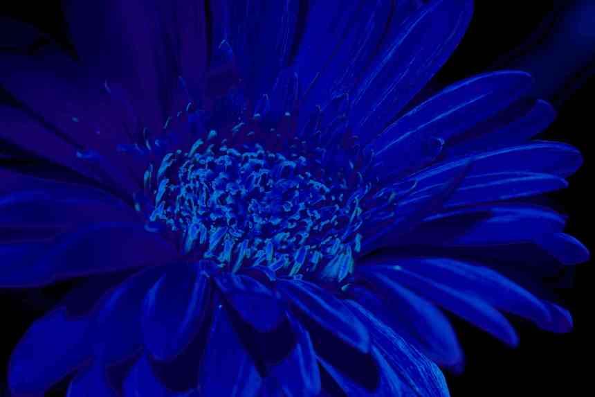 Gerbera solar blue low res