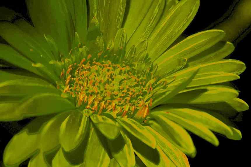 Gerbera solar green low res