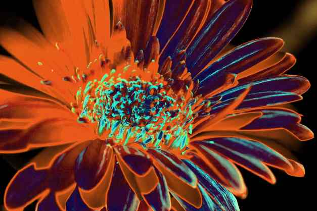 Gerbera solar orange low res