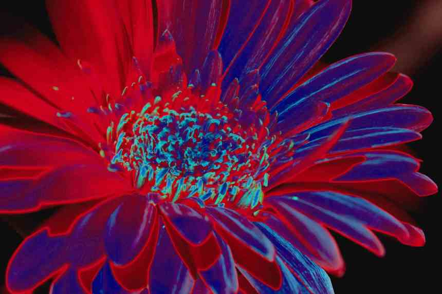 Gerbera solar red low res