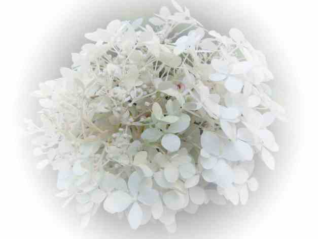 Hydrangea white V low res