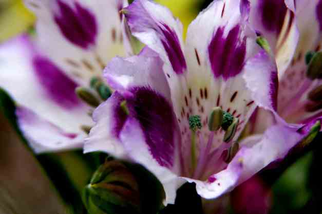 Inca lilies pw 3 low res