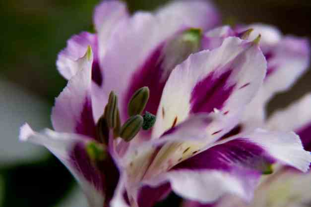 Inca lilies pw 4 low res